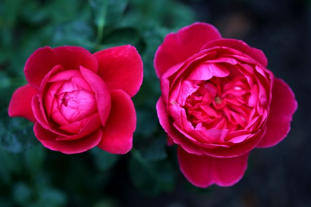Les Roses de Warren : The Captain of Hearts