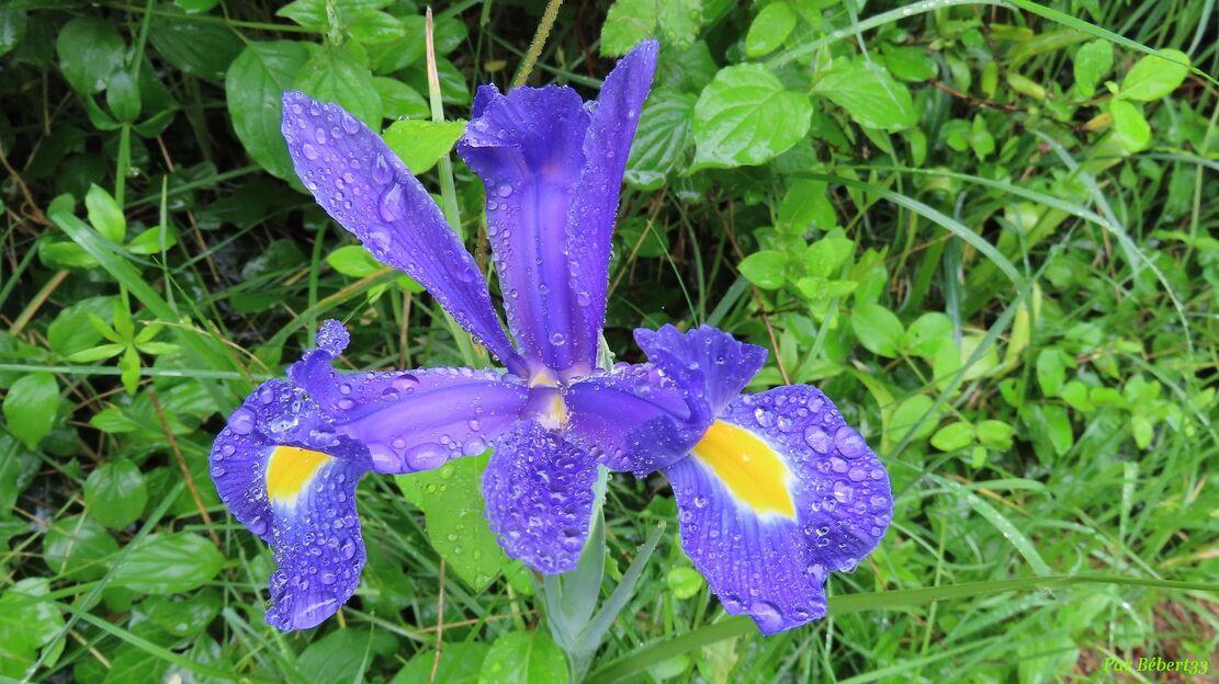 nos fleurs sous les gouttes