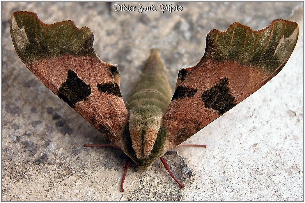 Sphinx du Tilleul / Mimas tiliae