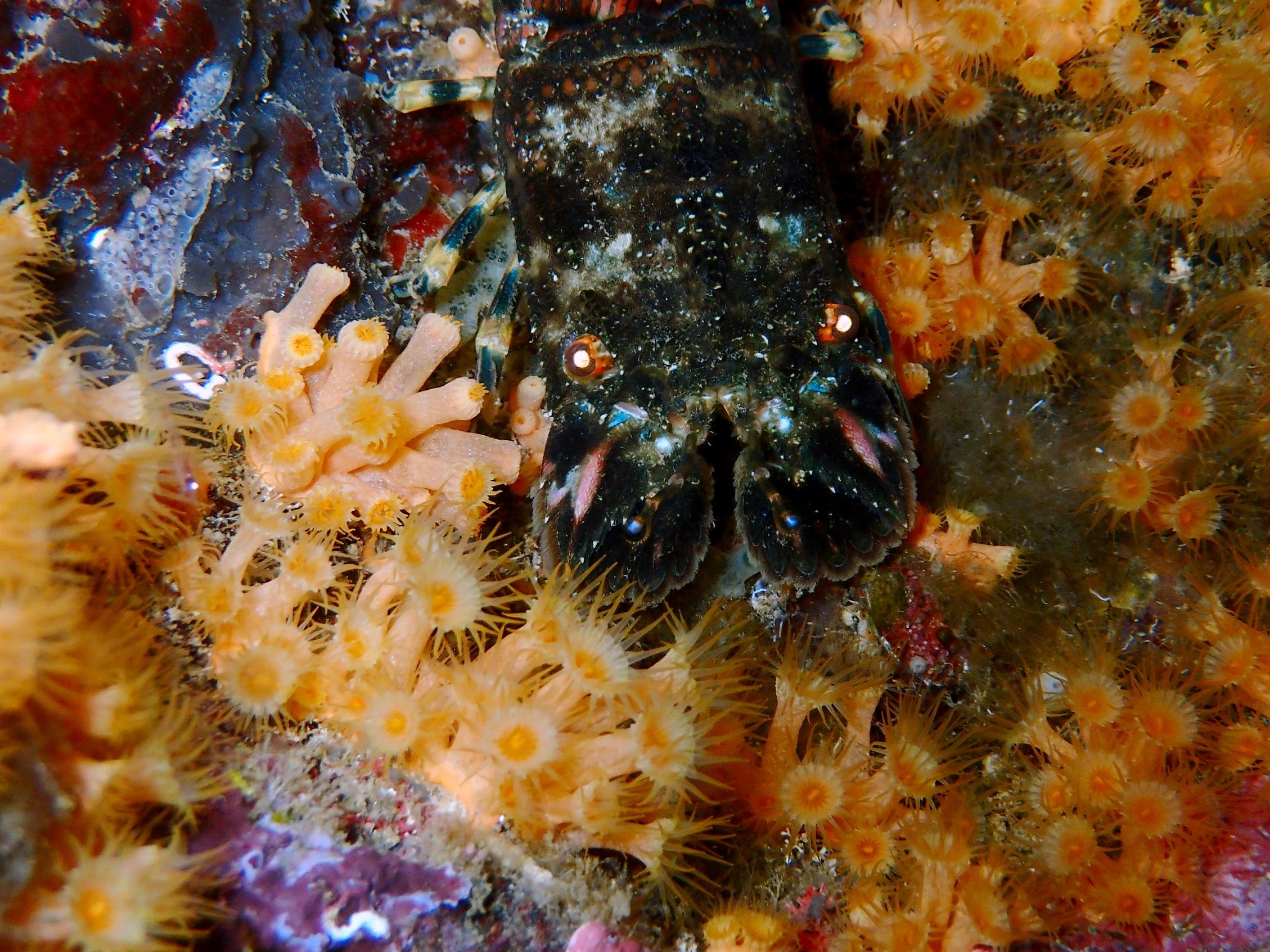 cigale de mer dans les zoanthaires