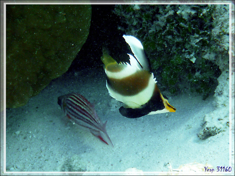 Poisson cocher du Pacifique ou Hénioche bouche d'or ou Taurillon à trois bandes, Threeband pennantfish (Heniochus chrysostomus) - Lagon de la Pension Kuriri - Maupiti - Polynésie française