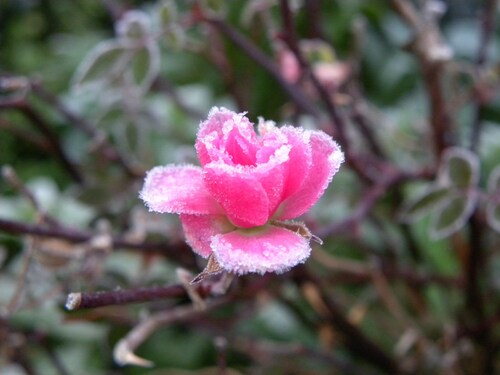Fleurs cristalisées