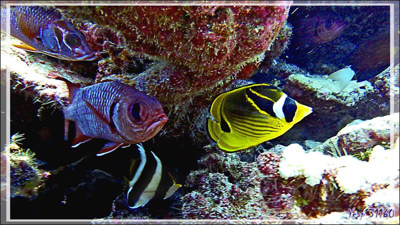 Les noms bizarres des poissons dignes d'un inventaire à la Prévert : un Ecureuil, un Soldat, un Cocher et un Raton laveur - Tumakohua (passe sud) - Atoll de Fakarava - Tuamotu - Polynésie française