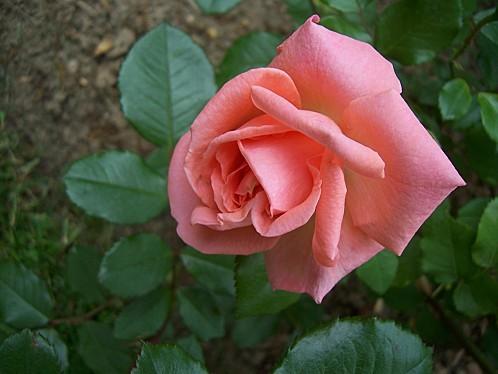 105-rose-kalinka libre