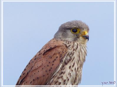 Faucon crécerelle juvénile, Young common kestrel (Falco tinnunculus) - Les Portes-en-Ré - Île de Ré - 17