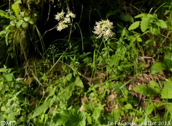 Luzula nivea  -  luzule blanche