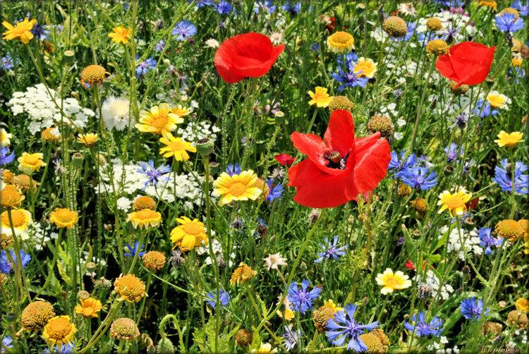 Fleurs de coquelicots, centaurées, chrysanthèmes, ammi majus...