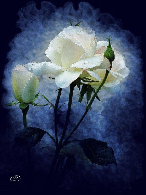 BELLESYMPHORINE -   ROSE