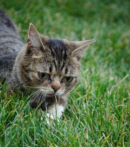 Lil Bub, un chat né avec une maladie des os, est une star sur Internet. © Kyle Matteson, Flickr, cc by nc nd 2.0