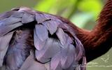 Ibis falcinelle - p 175