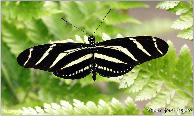 Papillon Zèbre / Heliconius charithonia