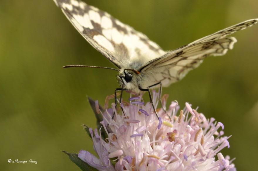 papillon-demi-deuil-9789.jpg