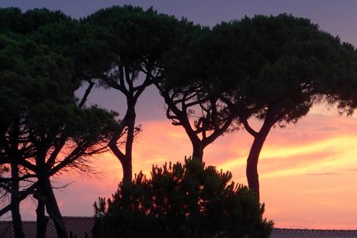 La pinède et le soleil du soir ...