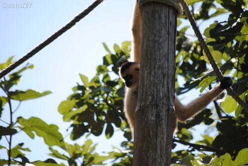 (1) La femelle gibbon à favoris blancs.