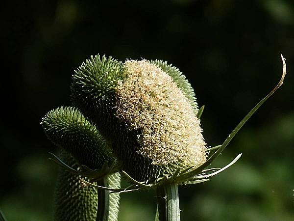 Cardère cultivée inflorescences blanche