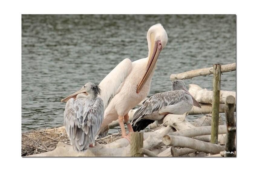 Pélican (Réserve Africaine de Sigean - Aude - Septembre)