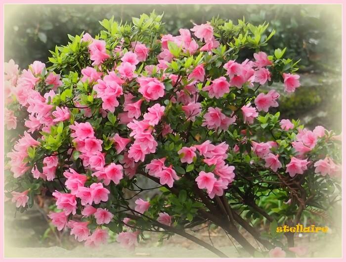 Azalées et Rhododendrons