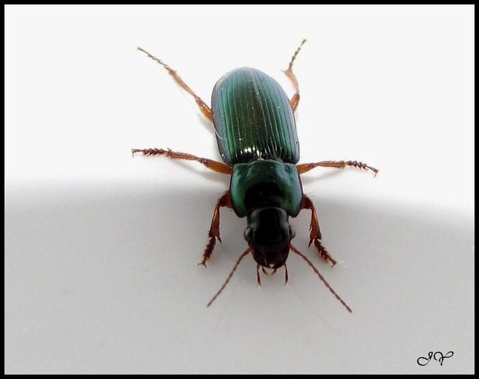 Harpalus (Harpalus) affinis