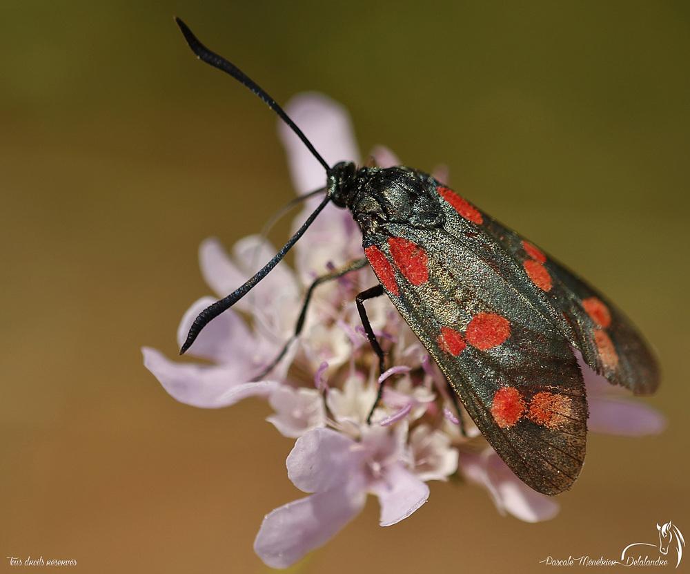 Zygène de la filipendule - Zygaena filipendulae - Zygaenidae
