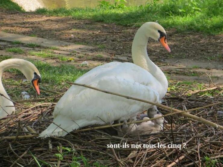 Naissance des Cygnes (oiseaux majestueux )