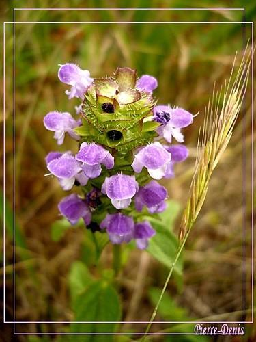 Brunelle violette