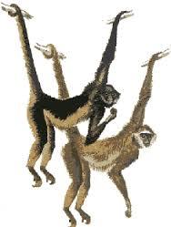 """Résultat de recherche d'images pour """"atèle singe.gif"""""""