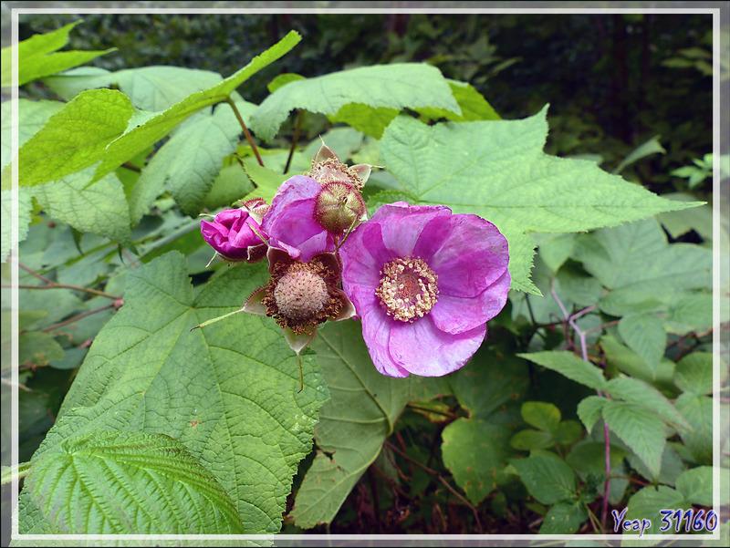 Ronce odorante, Framboisier sauvage, Calotte (Rubus odoratus) - Petit Lac Preston - Duhamel - Outaouais - Québec - Canada
