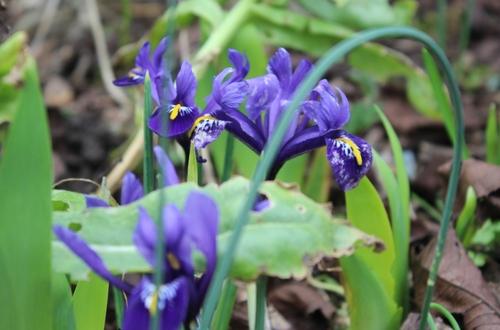 Fleurs de saison : les autres bulbeuses