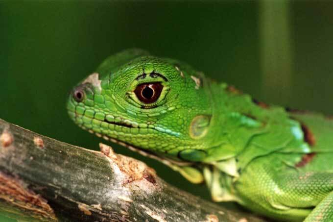 Jeune iguane vert