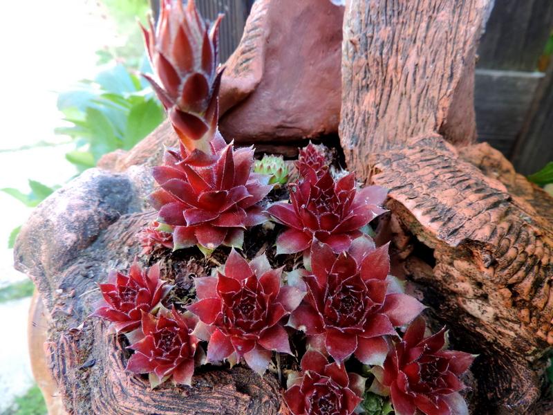 Succulentes en pots...