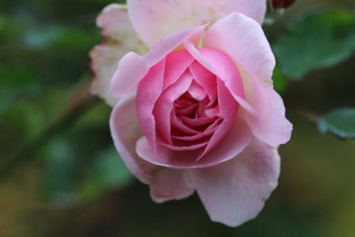 rose comme la couleur et la fleur