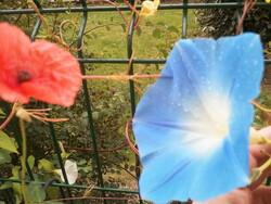 Ipomées bleues