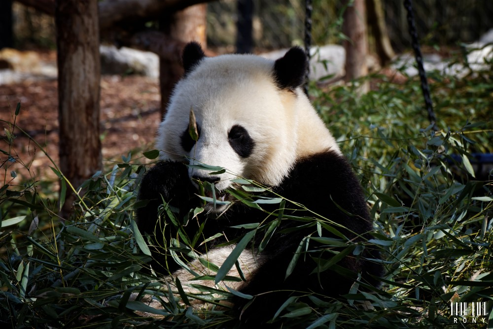 Tian Bao deux ans aujourd'hui