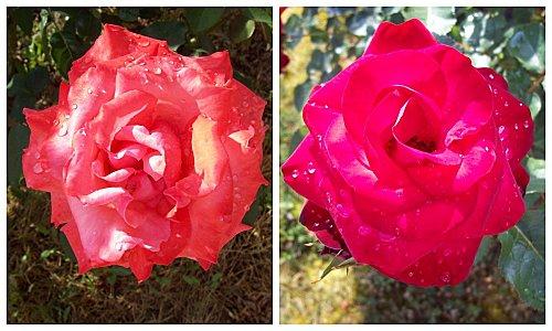 2-roses-apres-la-pluie.jpg