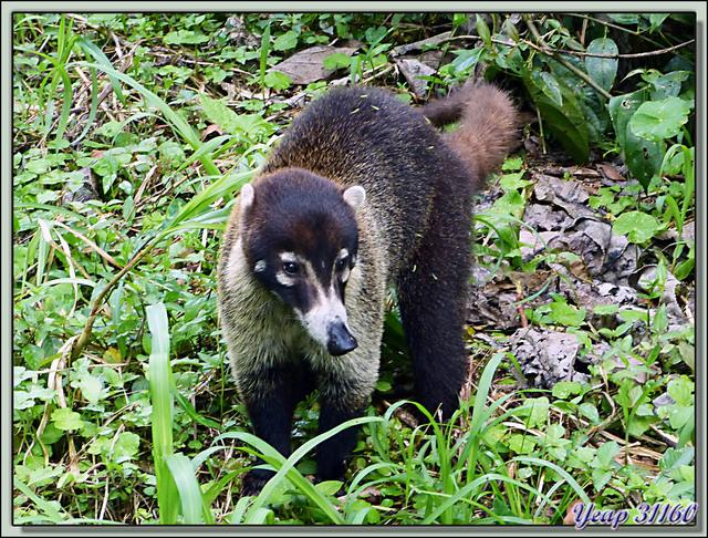Blog de images-du-pays-des-ours : Images du Pays des Ours (et d'ailleurs ...), Coatis à nez blanc (Nasua narica) - Arenal - Costa Rica