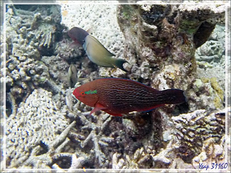 Snorkeling : Perroquet brun, Rusty parrotfish (Scarus niger) - Moofushi - Atoll d'Ari - Maldives