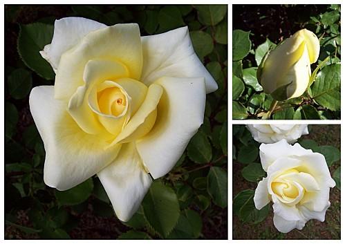 roses en mosaïque