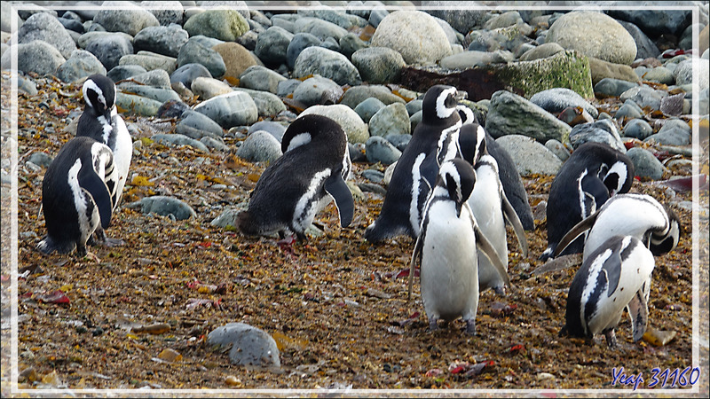 La baignade des Manchots de Magellan - Île Magdalena - Patagonie - Chili
