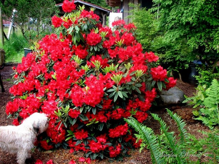 Nouvelles du Canada 141 : Rhododendrons