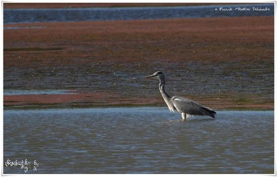 Héron cendré - Ardea cinerea - Grey Heron - Oiseaux.net