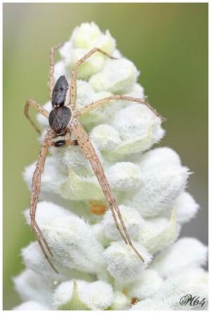 Araignée : PHILODROMIDAE