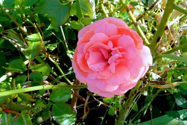j05---Belle-rose.JPG