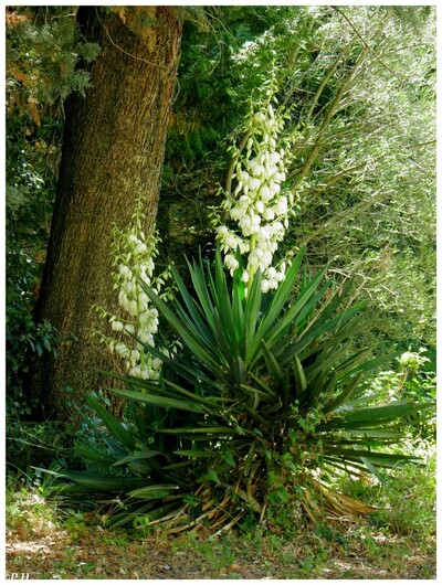Yucca gloriosa ou superbe