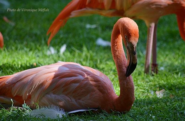 Ménagerie du Jardin des Plantes : Le flamant des Caraïbes ou flamant rouge