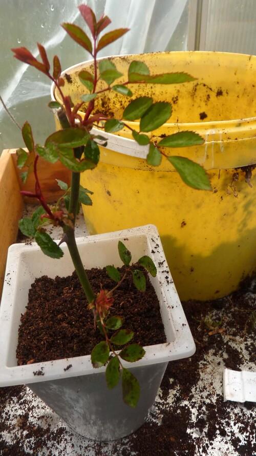 boutures de rosiers et résultats