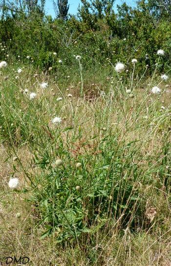 Cephalaria leucantha - céphalaire à fleurs blanches