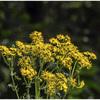 Maillot jaune de la vallée verte