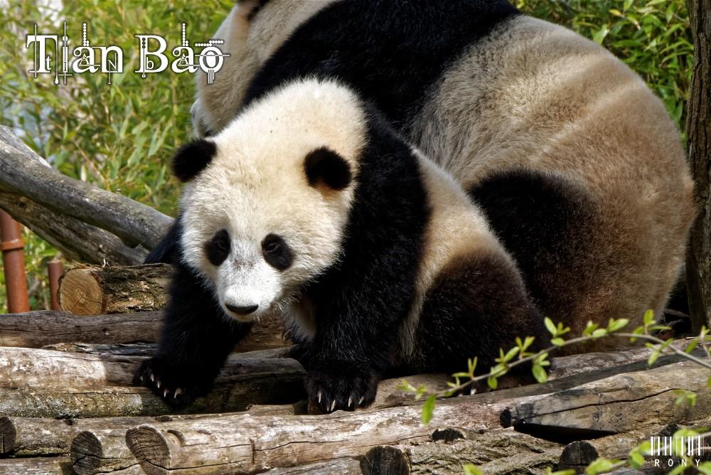 Hao Hao et Tian Bao,les  premières photos de cette année