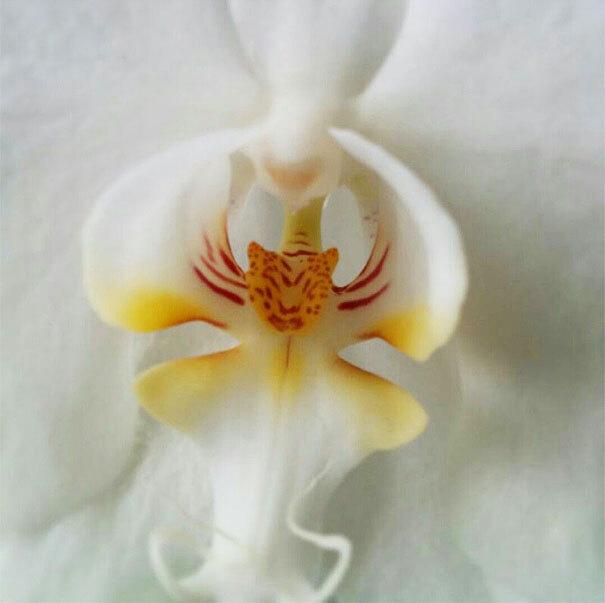flowers-look-like-animals-people-monkeys-orchids-pareidolia-42
