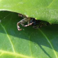 Araneus Diadematus ou Epeire Diadème et sa proie